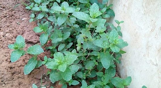 Mint or Pudina Plant