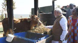 Modi with cows in Rwanda