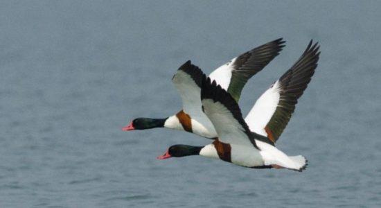 Migratory Birds, Pong Dam