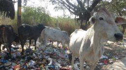 destitute cow